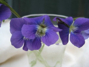 violets waiting to be sugared