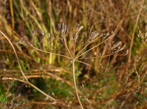 Caraway seeds ready for harvest