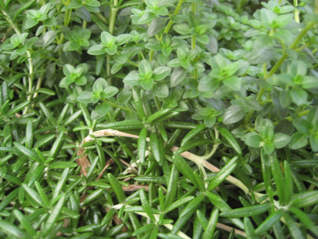 rosemary & thyme herbs